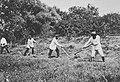 Russischer Photograph um 1890 - Dreschen und Heumachen (1) (Zeno Fotografie).jpg