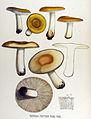 Russula foetens — Flora Batava — Volume v17.jpg