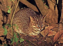 Rusty spotted cat, crop.jpg