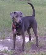 """A dark grey colored dog faces just to the right, it wears a large tag on its collar."""