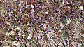 Saffron - Crocus vernus 16.jpg