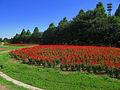Saitama OmiyaHananookaNorin Park Salvia 1.jpg