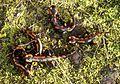 Salamandra salamandra Jungtiere 2012-11-06 004.jpg