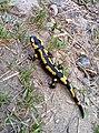 Salamandre Viaouest.jpg