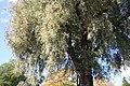 Salix alba sericea Sibirica.JPG