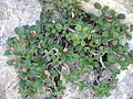 Salix reticulata 4.jpg