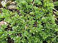 Salix serpyllifolia130.JPG
