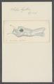 Salpa bigibbosa - - Print - Iconographia Zoologica - Special Collections University of Amsterdam - UBAINV0274 092 08 0050.tif
