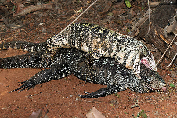 A male black and white tegu mounts a female that has been dead for two days and attempts to mate. Salvator merianae - necrophilia.jpg