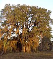 Sand Live Oak at sunrise (2969219331).jpg