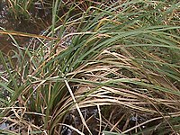 Santa Barbara sedge.jpg