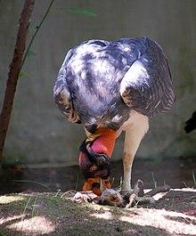 Sarcoramphus Papa Wikipedia La Enciclopedia Libre