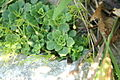 Saxifraga cuneifolia PID1356-1.jpg