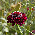 Scabiosa atropurpurea-IMG 9137.jpg