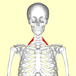 Scalenus posterior01.png