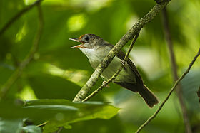 Scaly-crowned Babbler - Krung Ching - Thailand S4E3640 (14258803935) (2).jpg