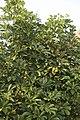 Schefflera arboricola variegata-2019.jpg