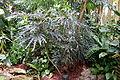 Schefflera elegantissima - Krohn Conservatory - DSC03686.JPG