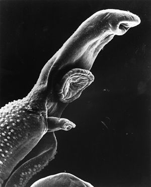Gonochorism - Unlike most flatworms, schistosomes are gonochoristic. The narrow female can be seen emerging from the thicker male's gynecophoral canal below his ventral sucker.