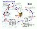 Schistosomiasis Life Cycle ja.png
