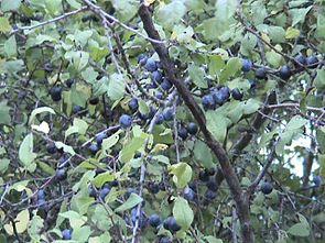 Schlehdorn (Prunus spinosa), mit Früchten