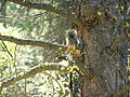 Sciurus aberti Lassen National Forest.jpg