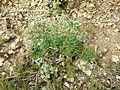 Scleranthus perennis sl12.jpg
