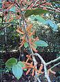 Scleropyrum pentandrum or Scleropyrum wallichianum 06.JPG