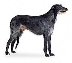 Image illustrative de l'article Deerhound