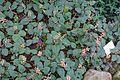 Scutellaria aurata - Botanischer Garten - Heidelberg, Germany - DSC01038.jpg