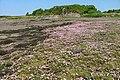 Sea Pinks, Caolas Eilean Ighe - geograph.org.uk - 824993.jpg