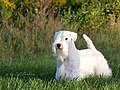 Sealyham Terrier - Ricky.1.jpg