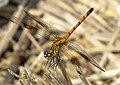 Seaside Dragonlet female.jpg