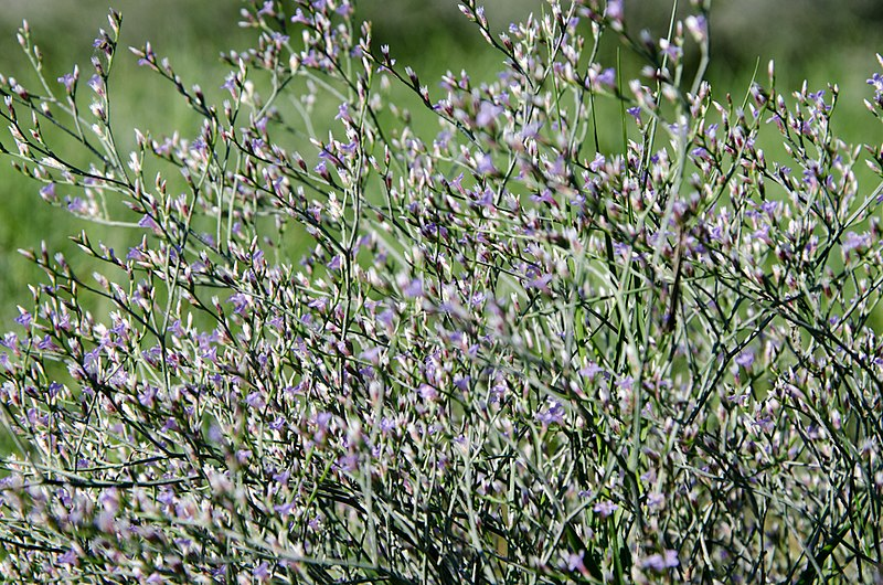 File:Seaside Lavender NPS.jpg