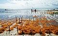 Seaweed farm uroa zanzibar.jpg