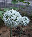 Seed onion.jpg