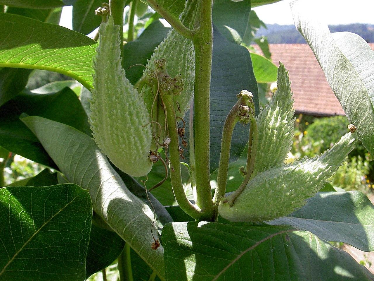 http://upload.wikimedia.org/wikipedia/commons/thumb/2/28/Seidenpflanze-Samenkapsel.jpg/1280px-Seidenpflanze-Samenkapsel.jpg