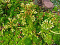 Sempervivum globiferum arenarium 01.JPG