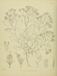 Senecio geminatus illustrated by Matilda Smith.jpg