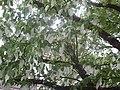 Sens jardin Davidia involucrata.jpg