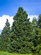 Sequoiadendron giganteum Marburg 004.jpg