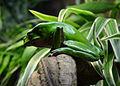 Serpentarium Blankenberge Phyllomedusa bicolor 30042015 2.jpg