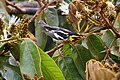 Setophaga fusca Monteverde 09.jpg