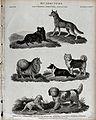 Seven different breeds of dogs of the genus canis. Line engr Wellcome V0020575.jpg