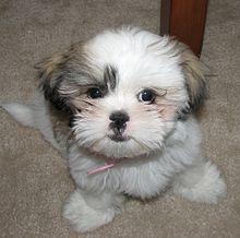 Petit chien blanc, les oreilles et un œil gris-beige, à poil mi-long ...