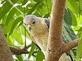 Shikra 5 (Accipiter badius) പ്രാപ്പിടിയൻ .jpg