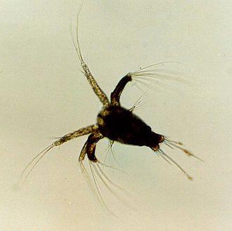 Crustacean larva - Nauplius larva