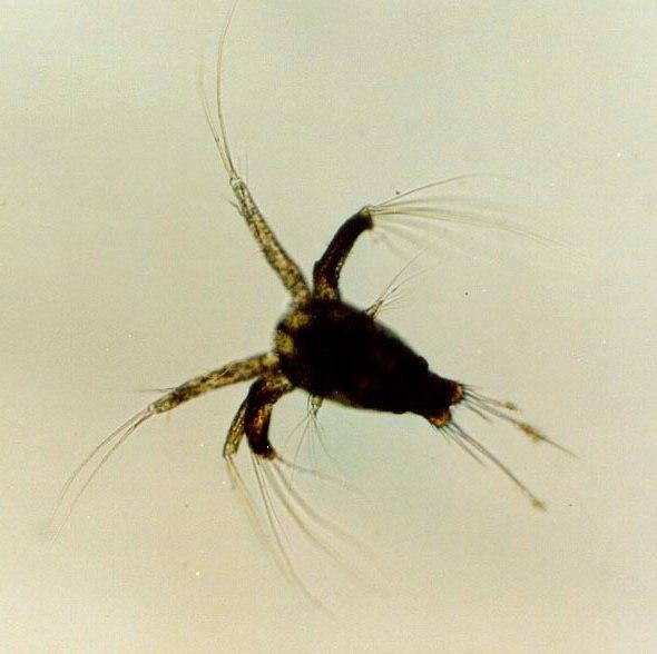 Shrimp nauplius