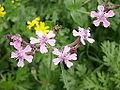 Silene aegyptiaca flowers from kdumim winter 2014 02.JPG