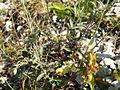 Silene vulgaris ssp. vulgaris PID1503-3.jpg
